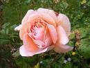 rosesl (2).jpg